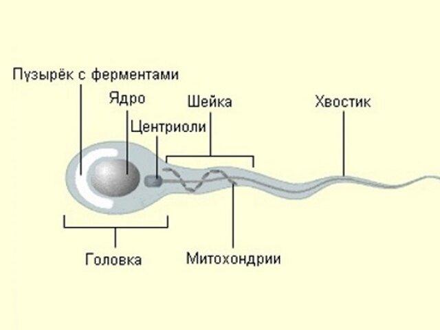 как сдавать спермограмму